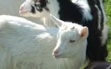La chèvre des fossés a tout d'une grande