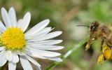 L'abeille noire d'Ouessant, elle est unique