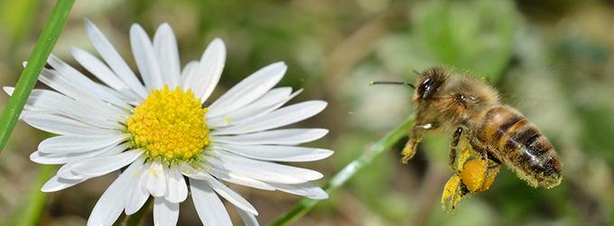 abeille noire
