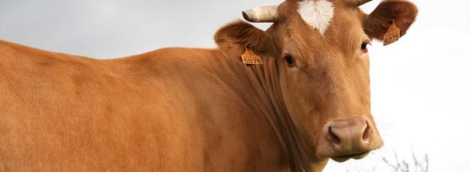 La vache Froment du Léon - © Fédération des Races de Bretagne