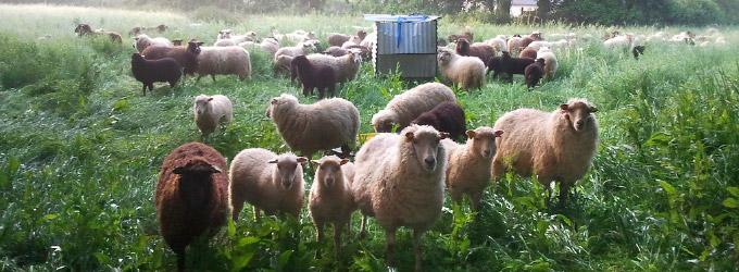 Moutons des landes