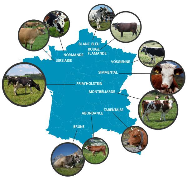Vaches : races laitières