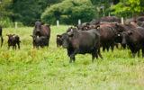 La Black Angus, une viande d'exception