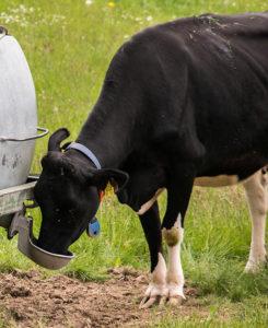 vache en train de boire