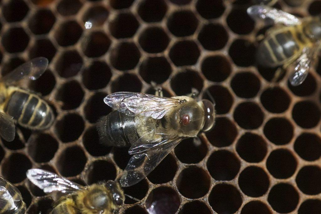 varroa sur le dos d'une abeille