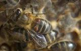 Lutte contre le varroa: c'est de saison!